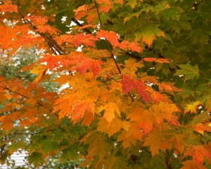 October leaves, Freeport, Maine