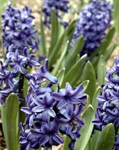 hyacinth, Brewster House, Freeport Maine