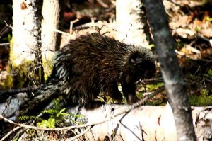 Porcupine, Acadia National Park, Schoodic Peninsula Maine