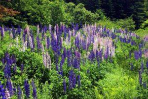 Purple, blue & white lupines in green field