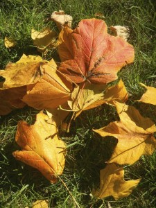 yellow and pink maple leaves laying on green grass